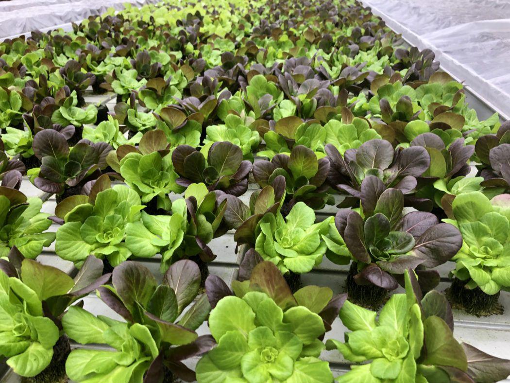 Indoor-Farming in Oberhausen Salate